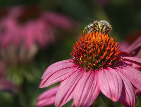 "Bea on Echinacea ""Spring is in the Air"" Pacific Art League April 2015"