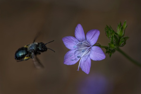 Bee flying to California Gilia Finalist in Plant Life Midpeninsula Regional Open Space District 2017