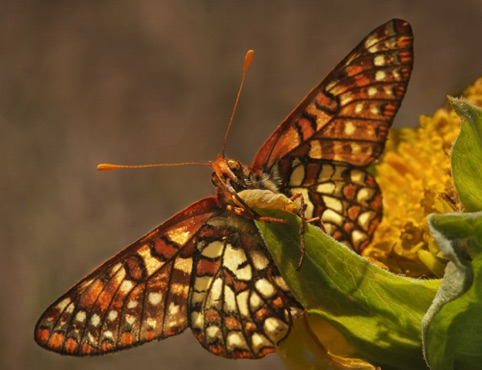 Edith's Checkerspot Bay Area Wildlife 2014 Filoli, Sept. 9–Oct. 26, 2014