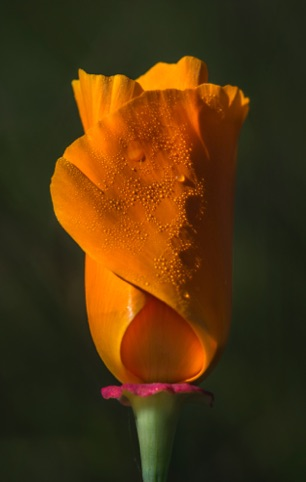 California Poppy Bud 3rd Place and Facebook People's Choice California Native Plant Society