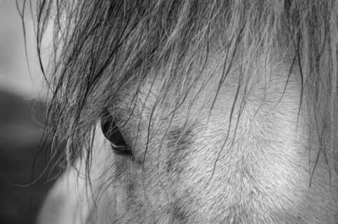 Iceland Horse Palo Alto Camera Club Community School of Music and Art March 2018