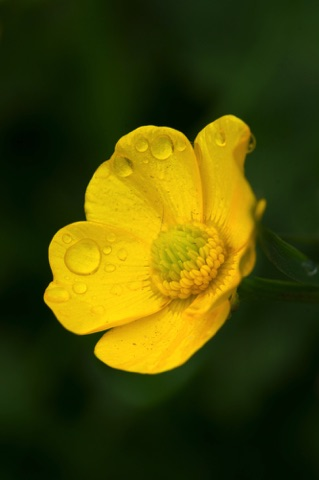 Meadow Buttercup • Ranunculus acris