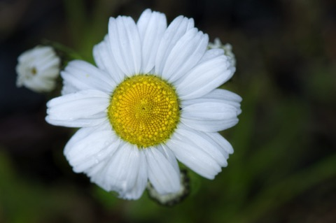Sea Mayweed • Matricaria maritima