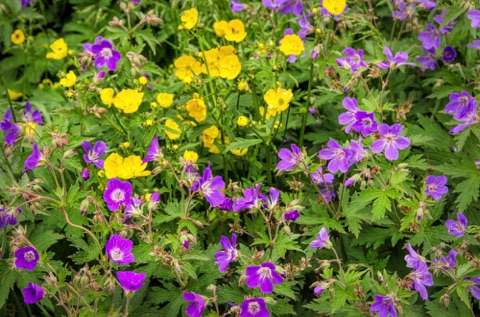 Woodland Geranium and Buttercups