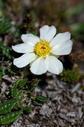 Mountain Avens • Dryas octopetala